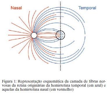 Representação esquemática da camada de fibras nervosas da retina originárias da hemirretina temporal (em sul) e aquelas da hemirretina nasal (em vermelho)